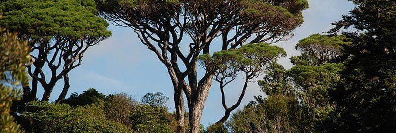 Sosna pinia była drzewem świętym