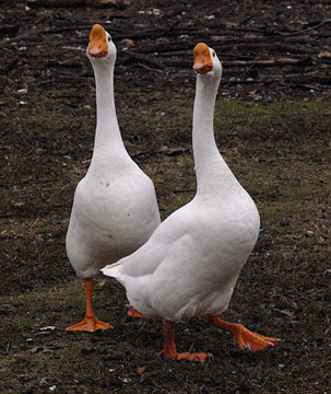 Geese were holy in Rome