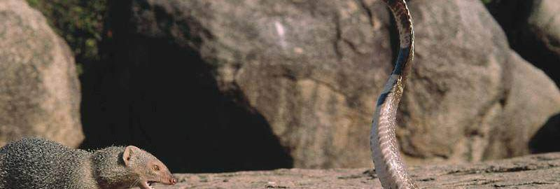 Mangusta i kobra