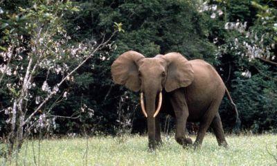 Słoń północnoafrykański