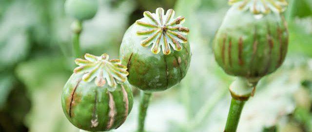 Opium znane było już w antycznym Rzymie