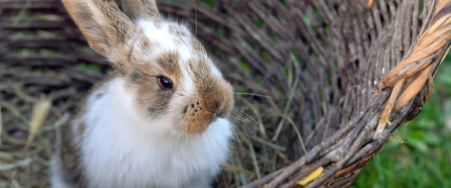 The remains of a rabbit from a Roman villa were examined again