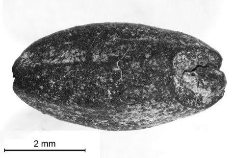 Burned wheat grain found in Portus
