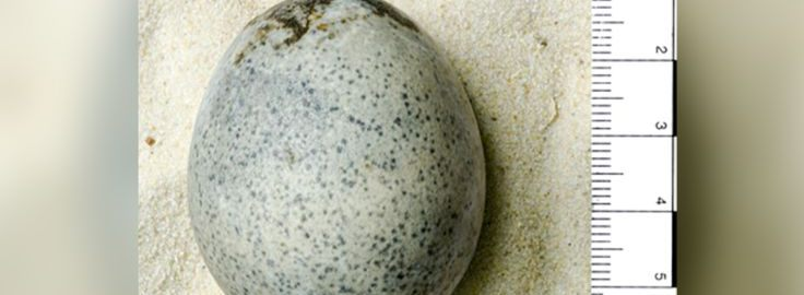 Odkryto kurze jajo z czasów rzymskich