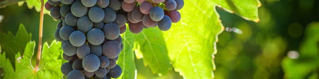 Odkryto ślady po winogronach i pszenicy na Sri Lance